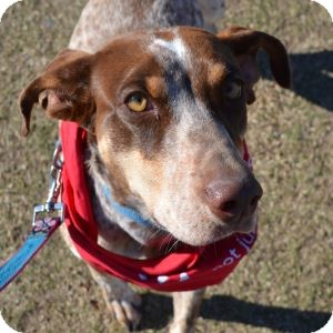 German Shorthaired Pointer Mix Dog for Sale in Gilbert, Arizona - Judy