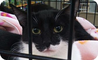 Domestic Shorthair Kitten for adoption in Modesto, California - Dexter