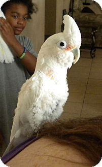 Cockatoo for adoption in Tampa, Florida - Georgie