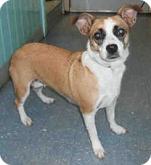 Corgi/Jack Russell Terrier Mix Dog for Sale in Orlando, Florida - Mila