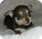 Chihuahua Mix Puppy for Sale in Hagerstown, Maryland - Lilly Putt