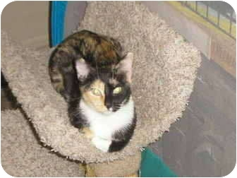 Calico Cat for adoption in Brea, California - Calliope