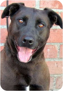 Shepherd (Unknown Type)/Labrador Retriever Mix Dog for Sale in Los Angeles, California - Kobe *VIDEO*