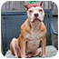 Photo 4 - American Pit Bull Terrier/American Staffordshire Terrier Mix Dog for adoption in Orlando, Florida - Darla