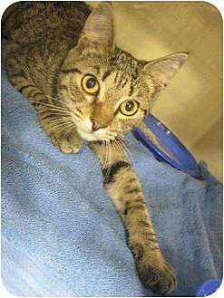 Domestic Shorthair Cat for adoption in Greenville, North Carolina - Agape
