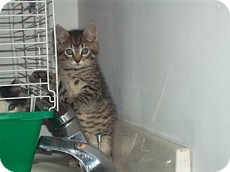 Domestic Shorthair Kitten for Sale in new york, New York - dingaling