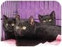 Adopt A Pet :: Black kittens - Roseville, MN