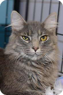 Maine Coon Cat for Sale in Harrisburg, North Carolina - Smoochie