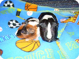 Guinea Pig for Sale in johnson creek, Wisconsin - Lila and Lilly