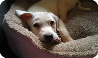 Labrador Retriever Mix Puppy for Sale in New York, New York - Millie