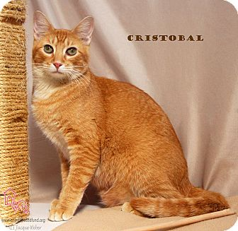 Domestic Shorthair Cat for adoption in St Louis, Missouri - Cristobal