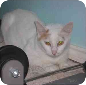 Domestic Shorthair Cat for adoption in Dallas, Texas - KERI ANNE