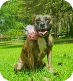 American Pit Bull Terrier/American Pit Bull Terrier Mix Dog for Sale in Orlando, Florida - Lilly