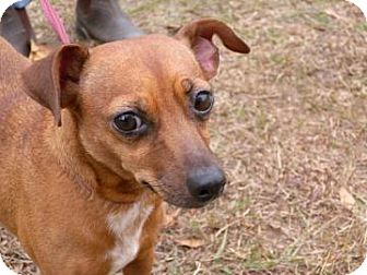 Chihuahua/Miniature Pinscher Mix Dog for Sale in Gainesville, Florida - Posie