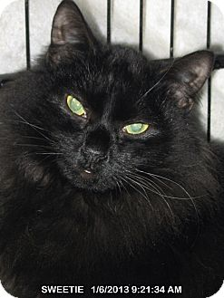 Domestic Mediumhair Cat for adoption in Brainardsville, New York - SWEETIE