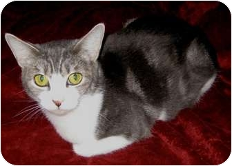 Domestic Shorthair Cat for adoption in Brush Prairie, Washington - Locket