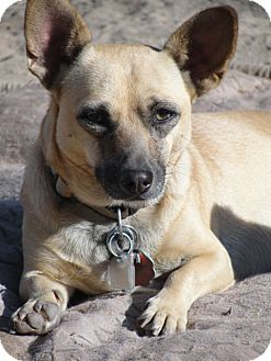 Fresno, CA - Chihuahua/Dachshund Mix. Meet SOPHIA a Puppy for Adoption ...