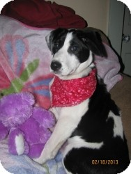 Border Collie Mix Puppy for Sale in Marlton, New Jersey - Lucy