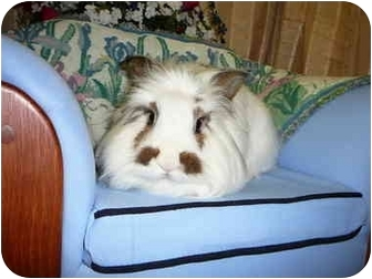 Lionhead Mix for adoption in Newport, Delaware - Clooney