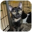 Photo 3 - Domestic Shorthair Cat for adoption in Griffith, Indiana - Ghetta