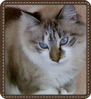 Ragdoll Cat for Sale in Bradenton, Florida - Apollo