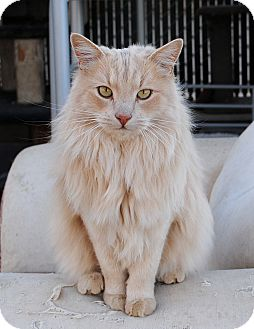Norwegian Forest Cat Cat for Sale in Palmdale, California - Ranger