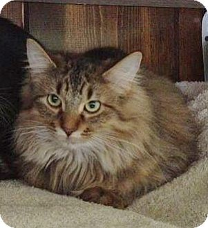 Domestic Longhair Cat for Sale in Grand Rapids, Michigan - Stuffin