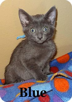Domestic Shorthair Kitten for Sale in Bentonville, Arkansas - Blue