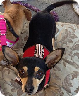 Chihuahua Mix Dog for Sale in San Diego, California - River