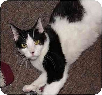 Domestic Shorthair Cat for adoption in Tampa, Florida - Marty