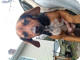 Beagle/Dachshund Mix Dog for Sale in selden, New York - Daisy