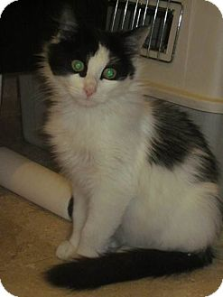 Domestic Longhair Cat for Sale in New York, New York - Gorgeous Sabrina