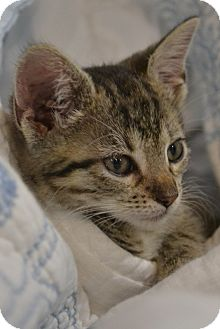 Domestic Shorthair Kitten for Sale in Oceanside, New York - Harts & Haide