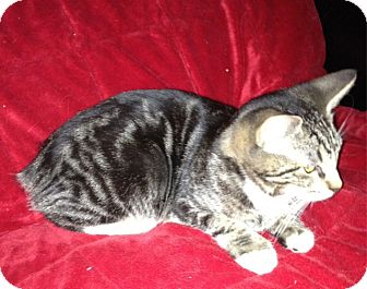 Manx Kitten for Sale in Simpsonville, South Carolina - Bobbie