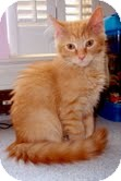 Domestic Mediumhair Kitten for Sale in Arlington, Virginia - Sage