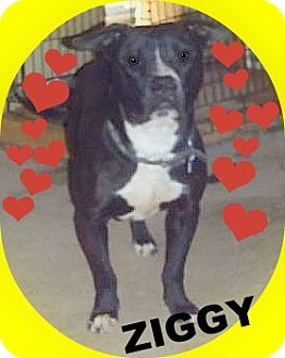 American Pit Bull Terrier Dog for adption in Elyria, Ohio - Ziggy