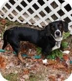 Labrador Retriever Mix Puppy for Sale in Windham, New Hampshire - Ruby Mae (In New England)