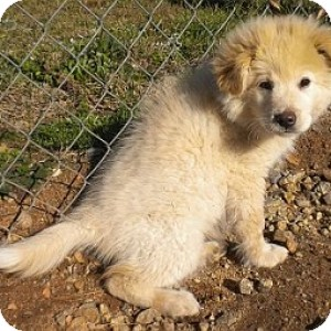 Great Pyrenees/Labrador Retriever Mix Puppy for Sale in Athens, Georgia - Cotton