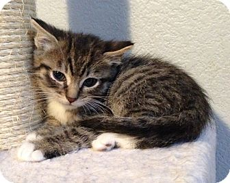 Domestic Shorthair Kitten for Sale in Vacaville, California - Foot Loose