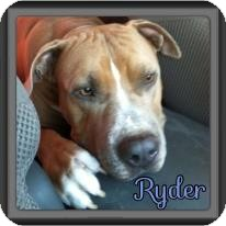 American Pit Bull Terrier/Mastiff Mix Dog for Sale in Spring, Texas - Ryder