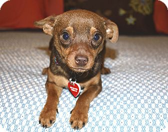 Miniature Pinscher/Chihuahua Mix Dog for Sale in Bellflower, California - Kenny-7 lbs