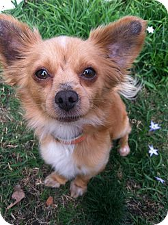 Chihuahua/Terrier (Unknown Type, Small) Mix Dog for adption in Studio City, California - Leo