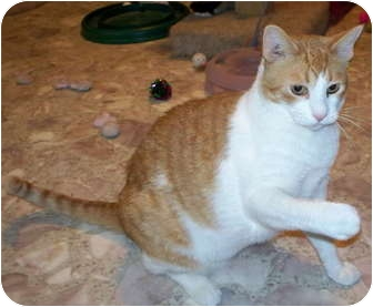 Domestic Shorthair Cat for adoption in Crescent City, California - CHESTER