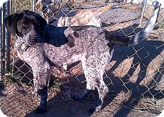 German Shorthaired Pointer Mix Dog for Sale in Niagra Falls, New York - Nellie $50.00 Off Adopt Fee