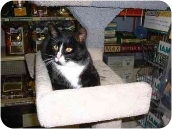 Domestic Shorthair Cat for adoption in Lethbridge, Alberta - Mr. Black