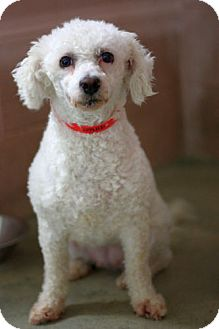 Poodle (Miniature)/Bichon Frise Mix Dog for Sale in Fresno, California - Madison