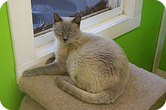 Siamese Cat for Sale in Memphis, Tennessee - Apollo