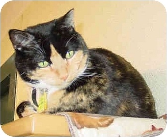 Domestic Shorthair Cat for adoption in Lakewood, Colorado - Sue Sioux
