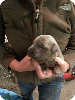 American Pit Bull Terrier Mix Puppy for Sale in Tulsa, Oklahoma - Un-named Puppy