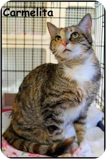 American Shorthair Cat for adoption in Merrifield, Virginia - Carmelita